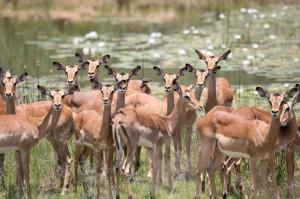 Buck herd