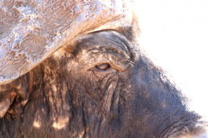 Buffalo close-up